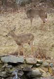 two backyard deer poster