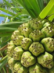 fruit de tahiti