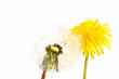 Dandelion before and after