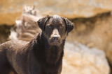 Shot of a Proud and Alert Chocolate Labrador poster