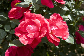 Two Red Tea Roses