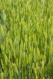 céréale bio blé orge culture vert grandir pousser farine moisson poster
