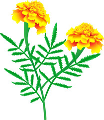 Flower of yellow-orange marigolds (vector illustration)