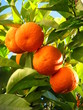 Quadro Oranges on a tree