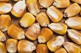 Corn grains. poster