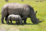 Fototapety white rhinoceros with 3 weeks calf