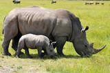 white rhinoceros with 3 weeks calf - Fine Art prints