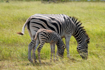 Burchell's zebra with young one