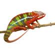 Quadro Chameleon Furcifer Pardalis - Ambilobe (18 months)