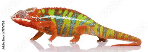 Papiers peints Cameleon Chameleon Furcifer Pardalis - Ambilobe (18 months)