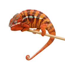 Chameleon Furcifer pardalis - Sambava (2 lata)