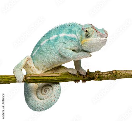 Staande foto Kameleon Young Chameleon Furcifer Pardalis - Nosy Be(7 months)