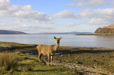 Scottish Red deer hind at the sea shore poster