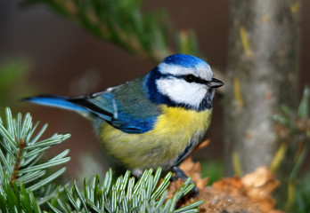 blue tit on a fir tree branch