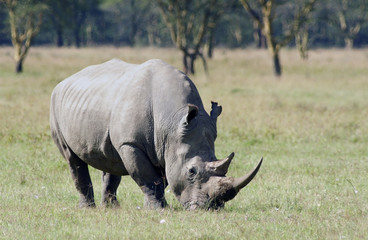 white rhinoceros 1