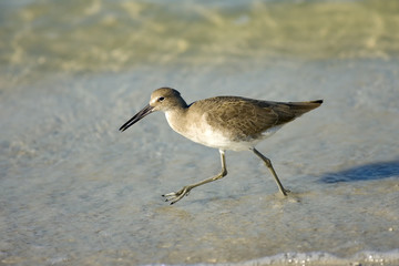Willet foraging in the surf