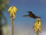 Ruby-throated hummingbird (archilochus colubris) poster