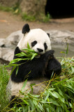 Panda Bear Eating - 7902937