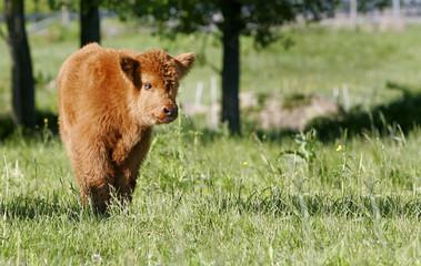 one holstein cow