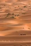 Camels caravan heading across the sahara poster