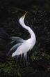 Bird-great egret