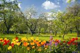 Fototapety Tulpen vor Streuobstgarten