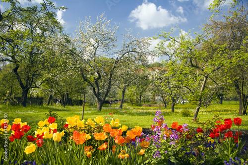 Leinwanddruck Bild Tulpen vor Streuobstgarten