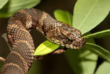Northern Water Snake (nerodia sipedon) climbing in a tree