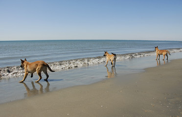 three young malinois on the beach