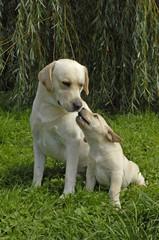 Chiens de race Labrador