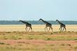 Giraffe landscape, Etosha National Park, Namibia