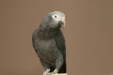 Portrait of an African Grey bird