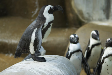 African Penguins on Rocks