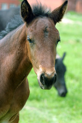 Beautiful brown foal on a meadow.