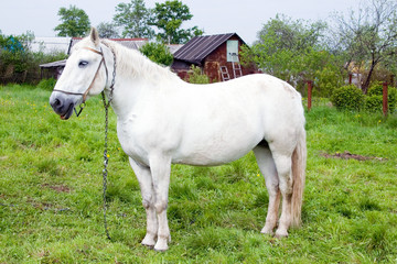 The white horse is grazed on a meadow.