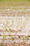 Heavy rains flood corn fields in the midwestern United States