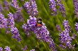 Bumble-bee and the lavender
