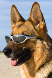 Head of the German shepherd with solar glasses poster
