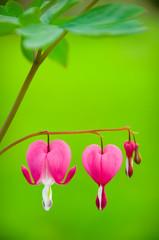 Bleeding heart flower - Dicentra spectabilis