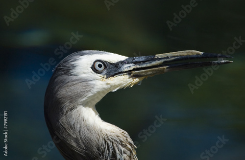 Head of a white-faced heron
