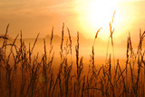 morning sunrise with wheat grass in the foreground poster