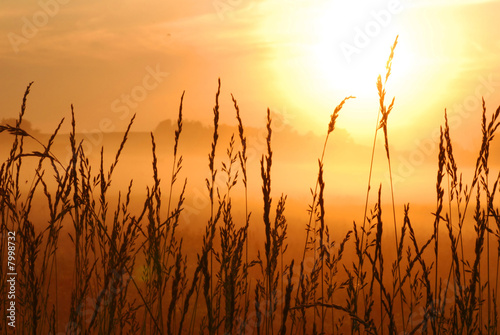 morning sunrise with wheat grass in the foreground - 7998732