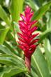 roleta: Alpinia purpurata