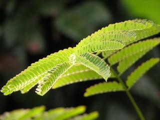 foglie di mimosa