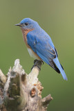 Male Eastern Bluebird (Sialia sialis) on a stump poster