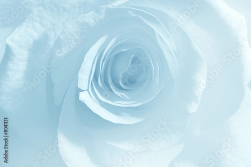 Soft blue rose