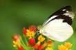 butterfly feeding on flower