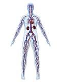 Fototapety cardiovaskuläres system