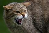 Fototapety Scottish Wildcat growling
