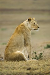 The lioness scans the plains for prey